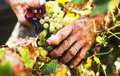 Cortando as uvas na Cantine Europa